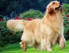出售金毛导盲犬忠诚可爱温顺热情伴侣犬金毛宝宝幼犬