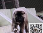 买大骨架熊版 高加索幼犬 低价出售