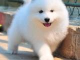 兰州犬舍出售精品萨摩幼犬一血统纯正一纯种健康