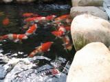 杭州鱼池过滤建设 锦鲤销售 鱼池清洗