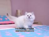 三窩完美雙色重點色手套色布偶貓DDMM出窩了