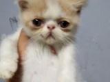 自家繁育加菲猫一窝3公2母。800-1200