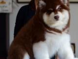 佛山养狗场出售多种宠物狗 纯种阿拉斯加犬多少钱一只 多窝挑选