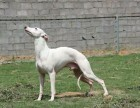 出售赛道格力犬和灵缇血统惠比特 黑白活都可以试