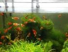 家养的红太阳鱼,黑壳虾,水草太多了,免费送,自取,也可调换。