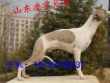 猎兔犬幼犬价格多少,哪里出售血统惠比特幼犬,猎兔犬多少钱一只