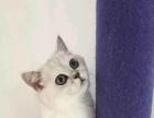 高品质纯种英国短毛猫银渐层出售 疫苗驱虫已做