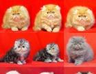 出售波斯猫 纯种健康签协议质保三年 可送货上门