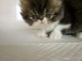 纯种完美品质 波斯小猫咪 包血统 保健康 疫苗做齐
