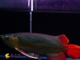 龙鱼金龙鱼蓝底过背重金属过背特价超血红龙辣椒红龙黄金猫
