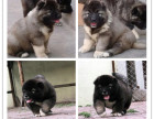 霸气外露 大骨量短毛精品俄系巨型高加索犬 带证出售