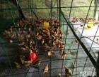 正规养殖孵化公司长期批发出售优质鸡苗鸭苗鹅苗