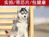 江门买狗必选 CKU认证犬舍 赛级品质 健康质保