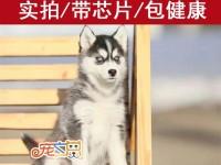 肇庆什么地方有哈士奇犬卖 哈士奇犬多少钱一条 买哈士奇犬必选