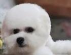 纯种活泼的小白色迷你比熊犬长不大宠物狗狗雪白迷你型