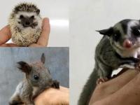 出售魔王松鼠金華雪地黃山松鼠狐狸寵物貂龍貓土撥鼠等