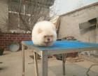 天津哪里有松狮出售 天津松狮多少钱一只 纯种松狮图片