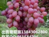 供应出售京亚葡萄苗,早熟品种