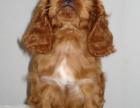 德州 出售2到4个月可卡犬 包健康纯种!
