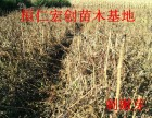 供应刺嫩芽小苗刺嫩芽种子辽宁刺嫩芽刺嫩芽基地