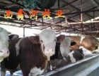 厂家面向云南直销供应西门塔尔牛_夏洛莱牛_利木赞牛