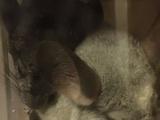 龙猫出售,三个月标灰弟弟妹妹,银斑弟弟