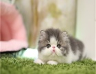 猫舍专业繁殖精品加菲猫多只在售 签协议包健康