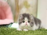 CFA猫舍专业繁殖加菲猫多只在售 签协议包健康