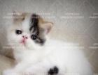 精品加菲猫找麻麻 多只可选 包纯种健康