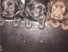 拉布拉多幼犬自家繁殖出售