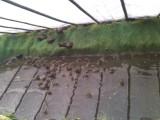 虎纹蛙冷门养殖利润高,科技致富虎纹蛙技术免费教学