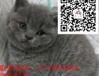 供应孟加拉豹猫猫舍