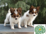哪里有卖蝴蝶犬的,蝴蝶犬多少钱一只
