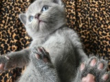 自己养纯种英短蓝猫宝宝 预订中