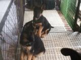 银川有没有卖德国牧羊犬的德牧幼犬