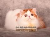 莆田买猫 猫舍繁殖活泼优美波斯猫 高贵优雅 疫苗驱虫已做