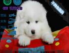 纯种萨摩耶幼犬 雪白无水锈毛量足骨量大 终身质保