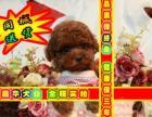 簽訂活體協議 泰迪熊幼犬 正規狗場 實物拍攝可刷卡送貨