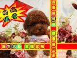 签订活体协议 泰迪熊幼犬 正规狗场 实物拍摄可刷卡送货