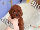 家养纯种泰迪犬便宜出售了 喜欢的可以加我详聊