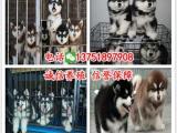 佛山禅城区哪里有狗场纯种阿拉斯加多少钱