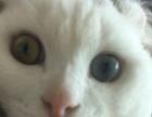 纯白美国卷耳猫异瞳鸳鸯眼短毛猫