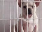 长期繁殖高品质法国斗牛犬 各类纯种名犬 包活签协议