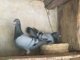 出售头型鸽,大鼻子鸽