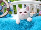 美國CFA認證貓舍 加菲貓 優惠送不停