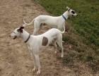 出售格力犬,惠比特,幼犬,拿兔试活,价格最低