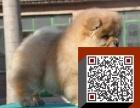 出售纯种黑白松狮 小藏獒松狮狗 红色松狮 奶白松狮