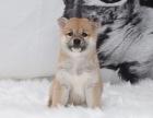 哪里有柴犬出售 纯种柴犬多少钱 柴犬好养吗