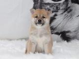 里有柴犬出售 纯种柴犬钱 柴犬好养