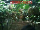 急大量猕猴桃出售,猕猴桃价格从优